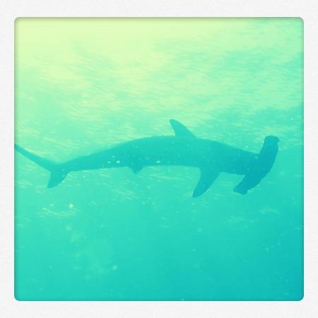 Tiburón martillo (foto de archivo de Arrecifal, Centro de Buceo)